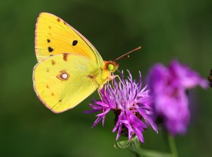 Colias crocea - Dark Clouded Yellow (3)